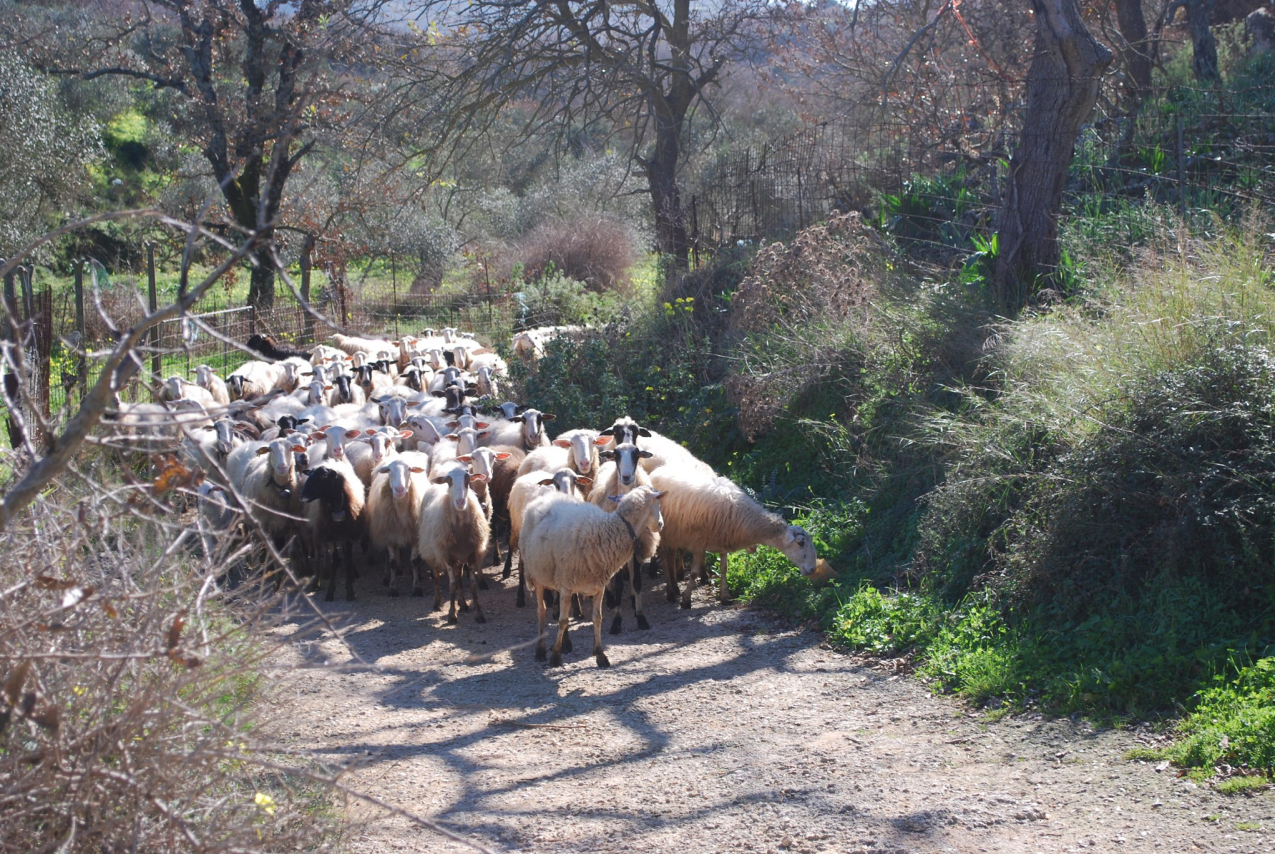 sheeps in front of your bungalow